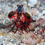 Peacock Mantis Shrimp (Odontodactylus scyllarus) out in the open, standing on a sandy bottom