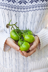 Collecting a handful of green tomatoes at the end of the season ready to be taken indoors for ripening