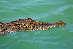 A small red leaf on a saltwater crocodiles' head near Turtle Reef in Talbot Bay.
