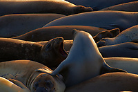 Elephant Seals at Piedras Blancas Beach, Central California Coast. Image taken with a Nikon D3x and 70-300 mm VR lens (ISO 280, 280 mm, f/8, 1/250 sec).