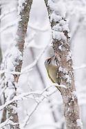 Grey-headed woodpecker male, Picus canus, Stora Tuvan nature reserve, Umea, Vasterbotten, Sweden