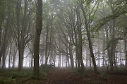 The still rural landscape of a beech wood on an misty autumnal morning, on 26th September 2017, in Eshott, Northumberland, England.
