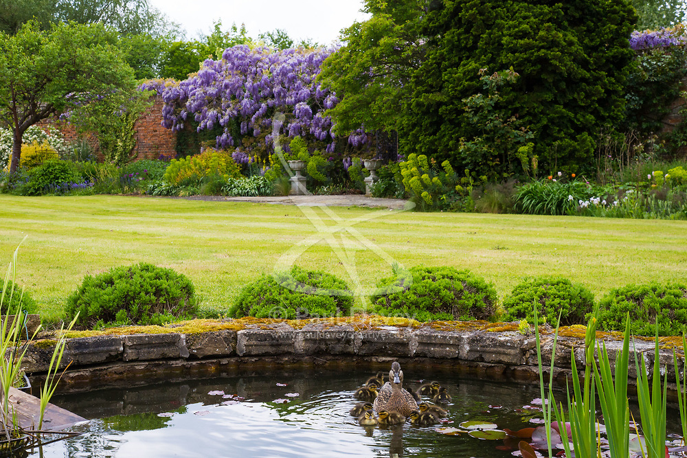 A mallard and her ducklings swim in front of the stunning examples of wisteria at Wickham Park Farm, Essex. No longer open to the public, the spectacular gardens are the work of dedicated gardener Judith Wilson, who has tended her wisteria and encouraged its growth for over thirty years. May 13 2018.