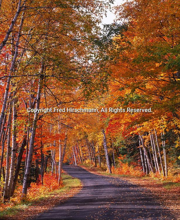 Autumn splendor of sugar maples, Acer saccharum, and paper birch, Betula papyrifera, lining Wyoming Drive, Keweenaw Peninsula, Upper Peninsula of Michigan.
