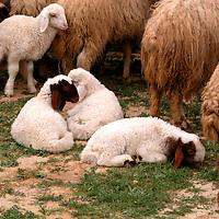Fauna - Sheep and Goats