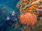 Large Natural Vase Sponge at Gabriella's Fish Point, Tufi, Papua New Guinea