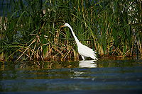 Great Egret (Ardea alba) foraging along edge of Lake Chapala, Ajijic, Jalisco, Mexico