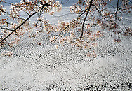 Cherry Blossom Branches & Floating Blossoms in water, Tidal Basin, Washington D.C., District Of Columbia