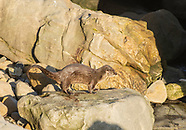 River Otter, Lutra canadensis