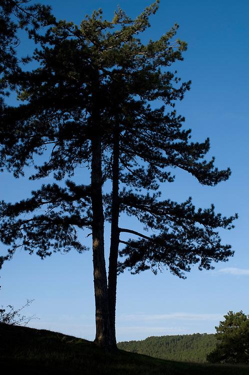 Greece, Pindos Mountains, Pindos NP, Valia Calda, pine trees in Valia Calda