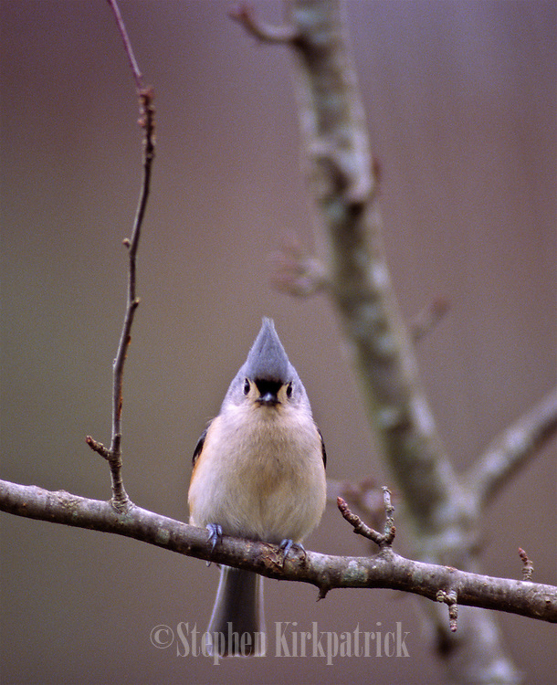 Tufted Titmouse in tree in spring - Mississippi.
