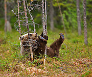 An European Brown Bear cub plays with some trees in a swamp in Finland.