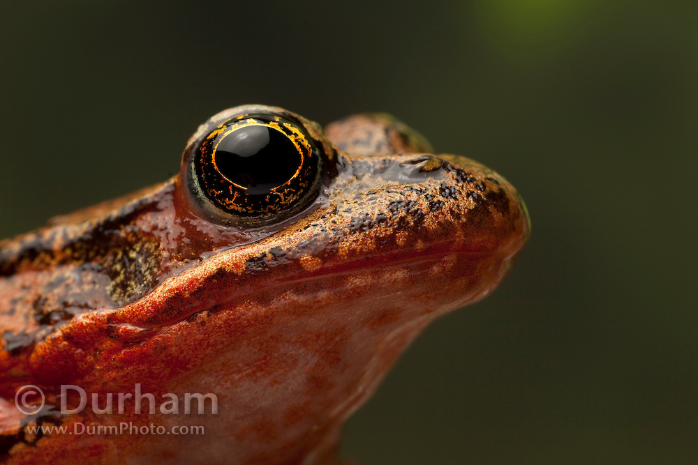 A female red-legged frog (Rana aurora). Western Oregon.