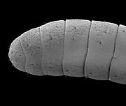 SEM a Monarch Butterfly Antenna, (Danaus plexippus). The fine receptors on the antenna have evolved to detect Milkweed and members of the opposite sex. This images was collected at 815x and represents a 1mm segment of the antenna.