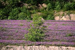 Prairie Lupine (Lupinus lepidus), Mt. St. Helens National Volcanic Monument, Washington, US