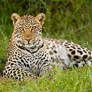 Leopard (Panthera pardus) in Masai Mara National Reserve, Kenya, Africa