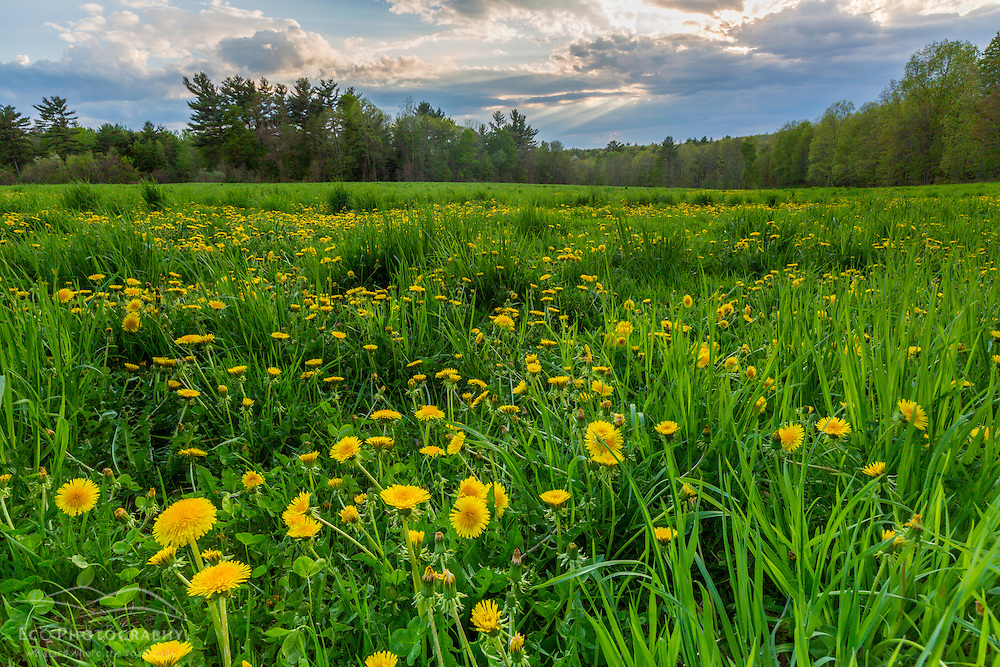 Dandelions bloom in a hayfield in Epping, New Hampshire.