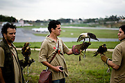 Belo Horizonte_MG, Brasil...SOS Falconinformes. Falcoaria no Aeroporto Tancredo Neves para a prevencao de acidentes aereos. Na foto, Gaviao-de-Penacho (Spizaetus Ornatus)...SOS Falconinformes. The falconry in the Trancredo Neves airport for the prevention of air accidents. In this photo, the Ornate Hawk-eagle (Spizaetus Ornatus)...Foto: JOAO MARCOS ROSA / NITRO