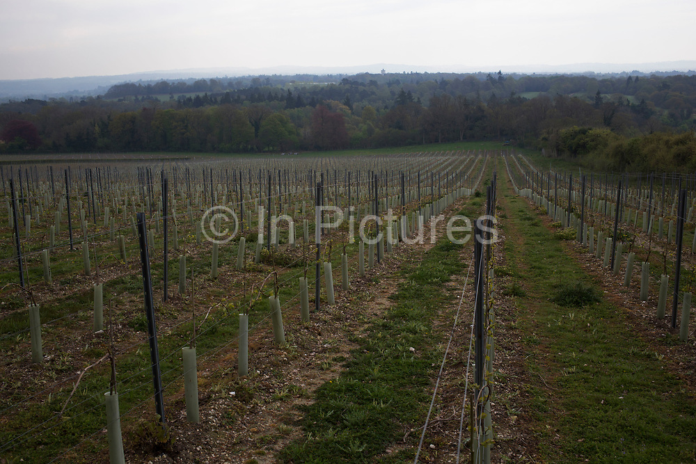 Greyfriars Vineyard, The Hog's Back, Puttenham, Surrey, UK. Greyfriars was originally planted in 1989 and has been producing grapes and wines for over 20 years. Well known for it's English sparkling wine, using traditional grapes such as Pinot Noir.