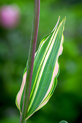 The variegated foliage of Tulipa 'Tropical Lady'