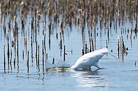 Great Egret, Ardea alba, catches a fish at Tule Lake National Wildlife Refuge, Oregon