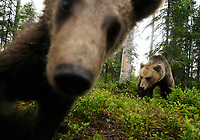 Eurasian Brown Bear, Ursus arctos<br /> Kuhmo, Finland
