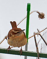 Carolina Wren (Thryothorus ludovicianus). Image taken with a Leica CL camera and 90-280 mm lens.
