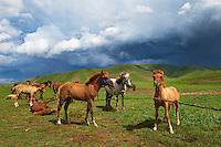 Mongolie, Province de Ovorkhangai, rassemblement des chevaux // Mongolia, Ovorkhangai province, Rallying of horses drove