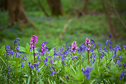 Early Purple Orchids growing with bluebells in a wood. Orchis mascula. Hyacinthoides non-scriptus