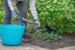 Mulching a fruit currant bush with garden compost in spring