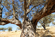 Israel, Southern Coastal Plains, Lachish Region, An old Olive tree