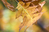 A close-up of Autumn oak leaves with gorgeous textures and golden and amber tones being lifted up by a passing breeze with a perspective so intimate that we feel that we are part of the curve.