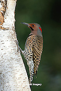 01193-012.08 Northern Flicker (Colaptes auratus) male on birch tree, Marion Co. IL