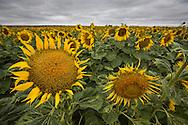 Field of sunflowers on a sunflower farm in Colorado.