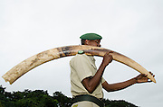 Confiscated poached elephant tusk<br /> Mbomo African Park's Congo Headquarters<br /> Odzala - Kokoua National Park<br /> Republic of Congo (Congo - Brazzaville)<br /> AFRICA