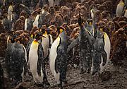 King penguin colony, Salisbury Plain, Bay of Isles, South Georgia, Antarctica