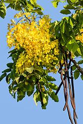 Cassia fistula, Golden Shower Tree #9