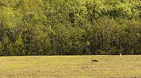 Red fox (Vulpes vulpes), Matsalu Bay Nature Reserve, Estonia