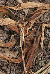 Mulch of comfrey leaves on garden bed, used to improve soil fertility