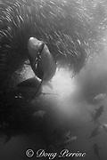 copper shark or bronze whaler, Carcharhinus brachyurus, <br /> and little eastern tuna, Euthynnus affinis, feeding in baitball of sardines or pilchards, Sardinops sagax, the Wild Coast, Transkei, South Africa ( Indian Ocean )