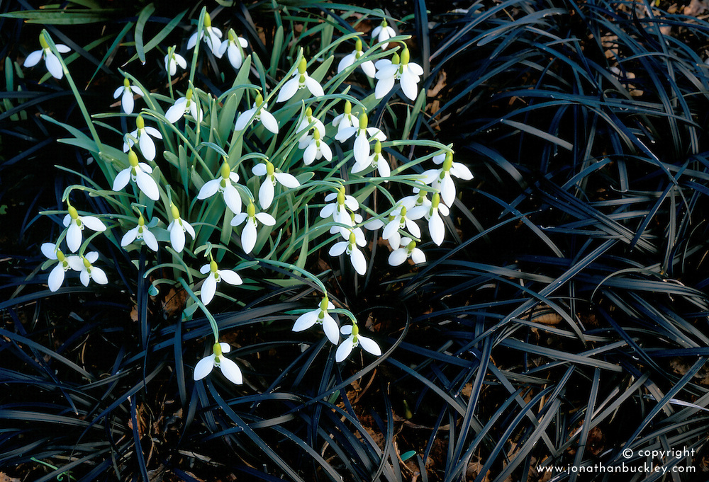 Snowdrops - Galanthus gracilis planted amongst Ophiopogon planiscapus 'Nigrescens' at Glen Chantry. Design: Sue and Wol Staines