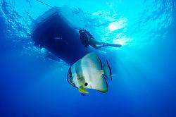 Platax teira, Langflossen Fledermausfisch unterhalb von Schiff und Taucher, Longfin Batfish or Spadefish und ship and scuba diver, Rotes Meer, Ägypten, Red Sea Egypt