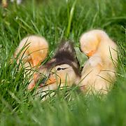 Nederland Berkel en Rodenrijs 15 april 2011 20110415 Voorjaar, piepjonge kuikentjes liggen in het gras in het zonnetje. Foto: David Rozing