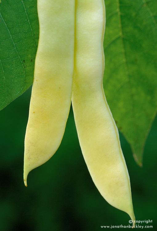 Butter bean
