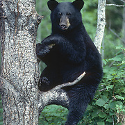 A male yearling black bear finds refuge on a tree branch during late summer. Minnesota
