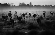 Drought conditions in Australia force thousands of Kangaroos to Oxley Station in the Macquarie Marches, western New South Wales near Warren. The Kangaroos move from the nearby national parks to properties with water and feed.