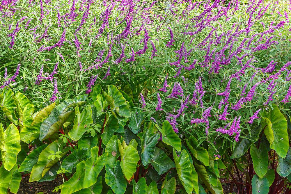 Purple Salvia and Elephant Ears Plants