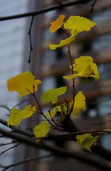 Folha de Plátano. FOTO:Jefferson Bernardes/Preview.com