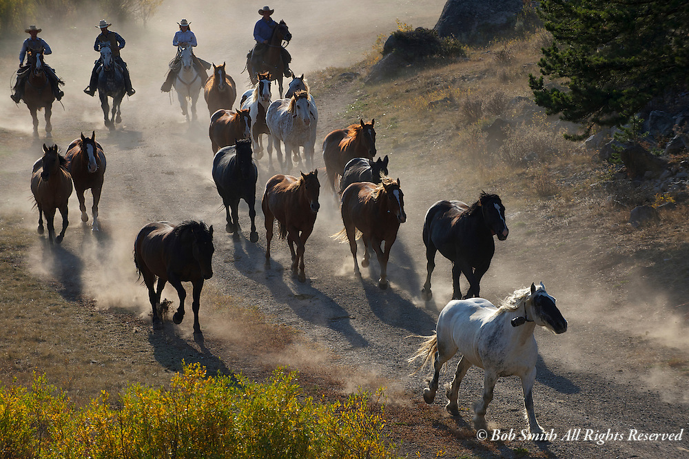 Ranch horses being driven from pasture to corral in Montana.