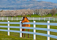 Horse poses by Flathead Cherry orchard near Polson, Montana, USA